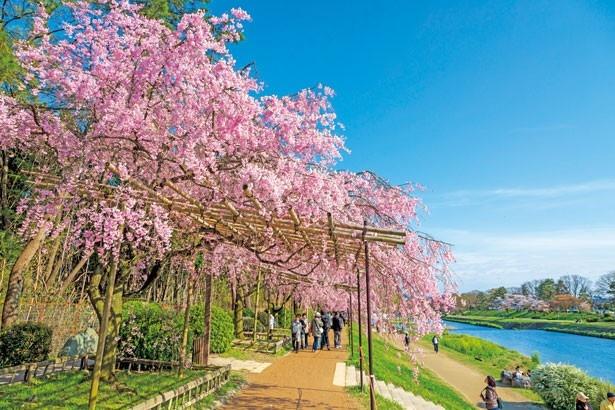 嵐山・東山・岡崎!春に見る京都絶景桜まとめ