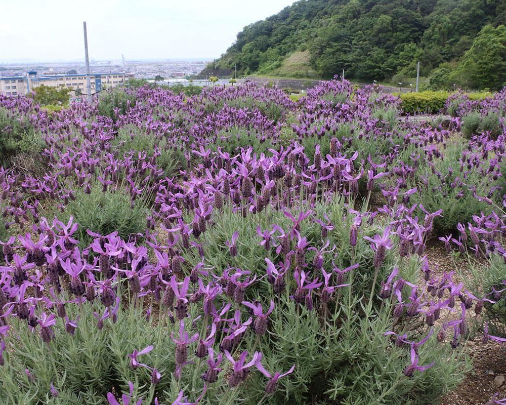 自然のハーブの香りに癒やされよう、和歌山県和歌山市の「西庄ふれあいの郷 ハーブ園」のハーブはいつが見頃?