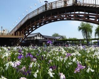 一面に咲き誇るあやめを愛でる、茨城県潮来市で「第70回水郷潮来あやめまつり」が開催