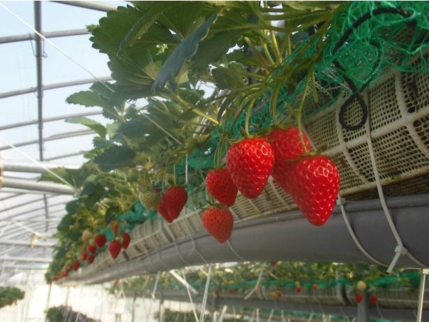 高設栽培で立ったまま実を摘み取れる