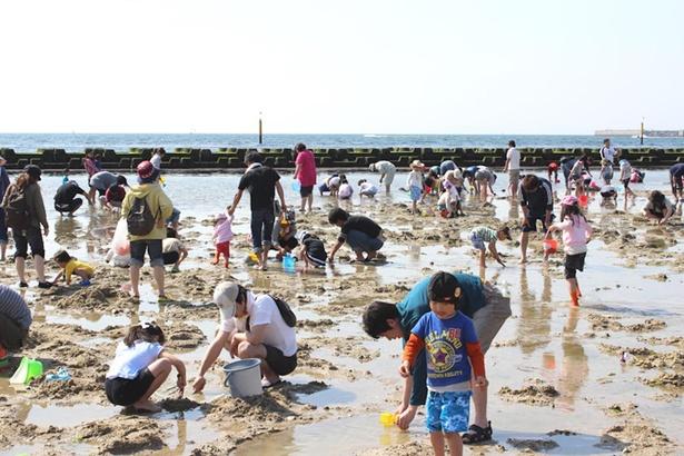 【写真】6月6日(日) までしかできない期間限定の潮干狩り