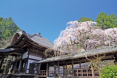 2014年春にJR「そうだ 京都、行こう。」のキャンペーンの舞台にも選ばれた、なりひら桜。京都市内よりひと足早く、3月下旬に見ごろを迎える/なりひら寺 十輪寺