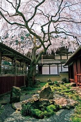 【写真を見る】高廊下・業平御殿・茶室(非公開)に囲まれた三方普感(さんぽうふかん)の庭で咲く。見る場所や角度を変えて眺めてみよう/なりひら寺 十輪寺