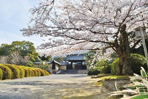 薬医門や総門前には背が高く存在感のある古木も。厳かな境内で花開く桜は、例年4月上旬に見ごろを迎える/隨心院