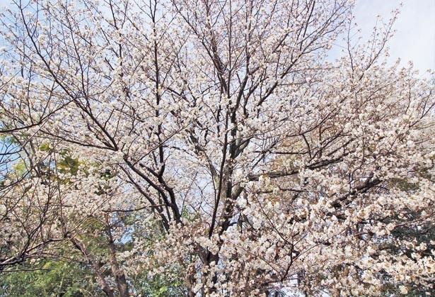 独秀令岱(どくしゅうれいたい)和尚が植えたとされるヤマザクラの皇桜。4月上旬になるとソメイヨシノも見ごろに/東福寺塔頭 勝林寺