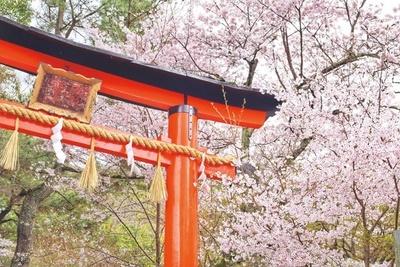 参道の桜は例年4月上旬に見ごろを迎える。宇治橋周辺など、界隈には名所が多いので参拝後に見て回るのもおすすめ/宇治上神社
