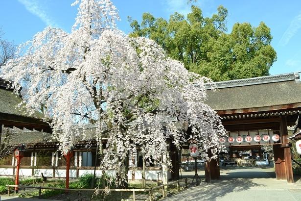 格式ある社殿に桜がマッチ