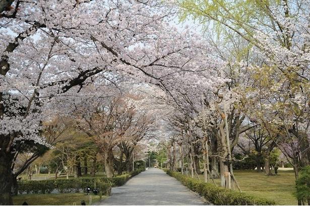 元離宮二条城(清流園)の桜