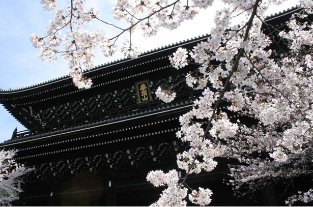 桜が歴史ある境内に趣をそえる