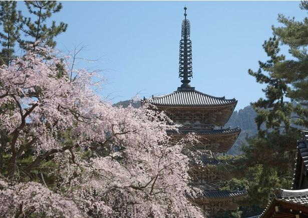 国宝・五重塔としだれ桜が境内を彩る