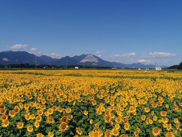 鈴鹿山脈の一つ、藤原岳のすそ野に広がるひまわり畑。夏本番はご覧の絶景!