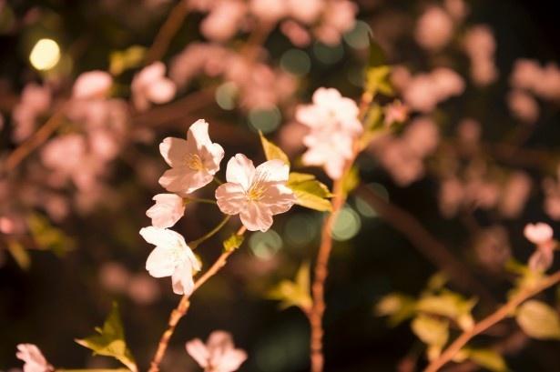 福徳神社の境内は、桜みくじで満開に