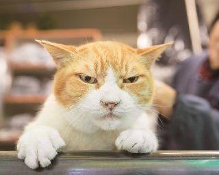 もうすぐ100歳を迎える「クリーニングよしの」(神奈川・横浜)のおじいちゃんネコ・まき