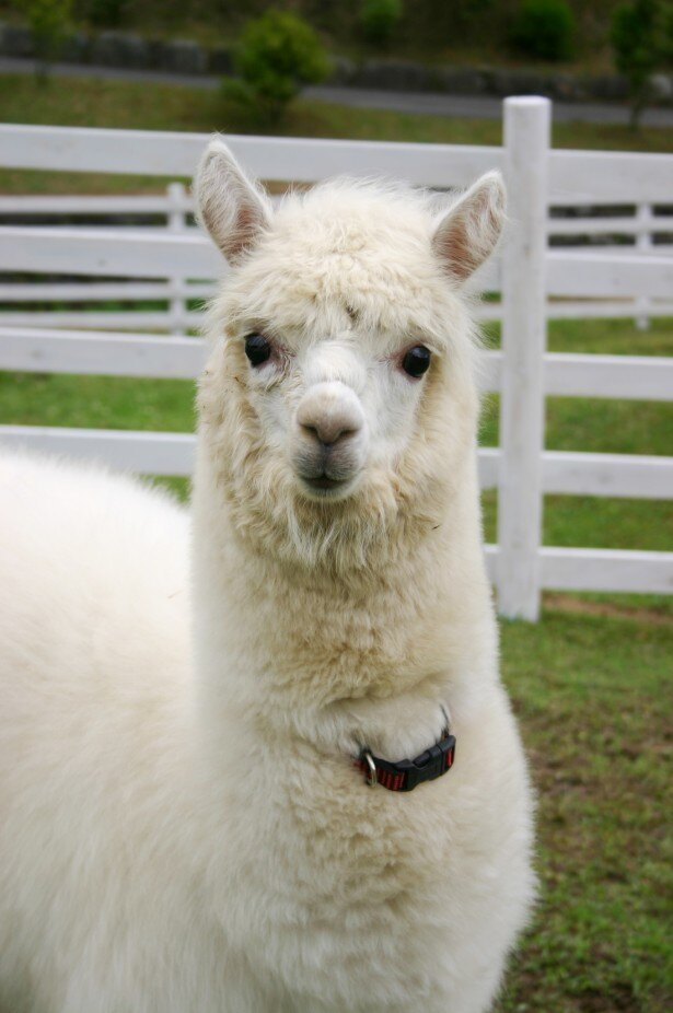 南アメリカのアンデス山脈に生息するアルパカ。ラマとよく似たラクダの仲間で体毛は白、褐色、灰色、黒などさまざまだ