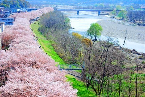 2.5kmにわたる福生市の桜並木は壮観。夜桜のライトアップも行われる