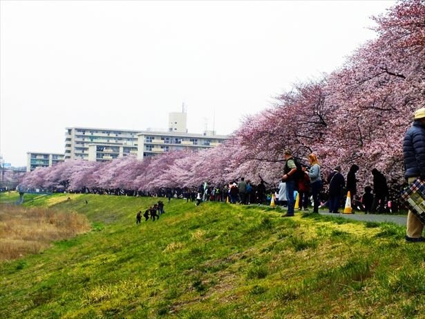 【写真を見る】多摩川堤防沿い2.5kmにわたって咲き乱れる桜を楽しめる「ふっさ桜まつり」。3月25日(土)から4月2日(日)までの9日間開催される