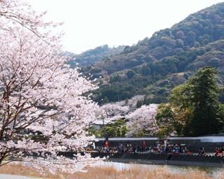 三重県・伊勢市のおかげ横丁で行われる「五十鈴川桜まつり」。川沿いに咲き誇る桜が圧巻だ