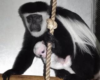 旭山動物園・2016年12月に生まれたアビシニアコロブスの赤ちゃんとアビー(2017年1月撮影)