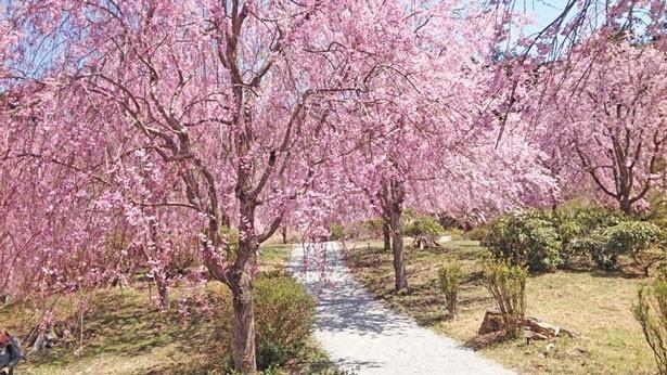 【写真を見る】レンギョウやユキヤナギも植えられる天空の庭では、目の前に満開のシダレザクラが広がる圧巻の光景が/高見の郷