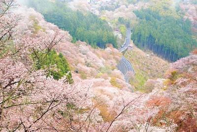 「一目千本」と呼ばれるほどの絶景が楽しめる。花矢倉展望台からの眺めが特に見事/千本桜