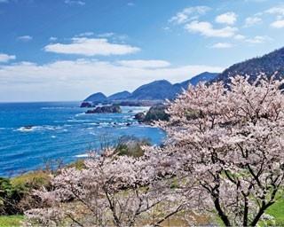 桜のバックに丹後松島の壮大な風景が。大小さまざまな島と日本海、そして桜を同時に眺める贅沢な時間を/丹後松島展望所