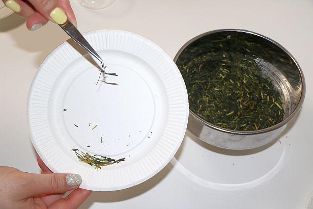ピンセットで茎茶を選別していく作業に苦戦!