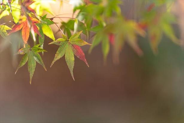 紅葉の始まりは、秋の気温が大きく関係している
