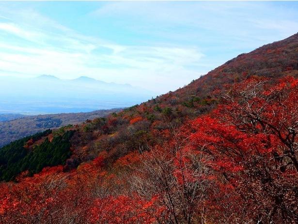 まるでじゅうたんを敷き詰めたかのような、鮮やかな紅葉が広がる