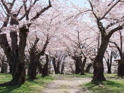 森町・青葉ヶ丘公園/桜の風景