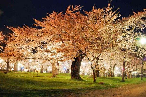 森町・青葉ヶ丘公園/夜桜ライトアップの風景