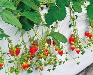 約10000平米の広大な園内にイチゴのハウスがずらりと並ぶ/淡路島フルーツ農園