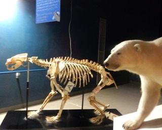 旭山動物園・動物資料展示館にある、ローランドゴリラの骨格標本とはく製
