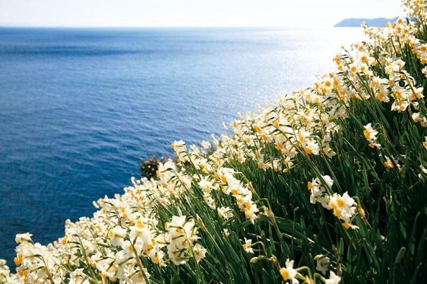 約180年前、海岸に漂着した球根を地元の漁師が植えたのが始まりと言われ、だんだんと繁殖したスイセンが今では約500万本に/灘黒岩水仙郷