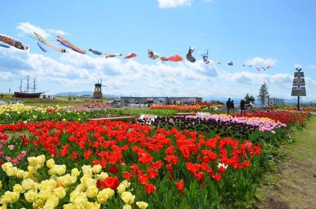 木古内町サラキ岬チューリップ園。次に向かうのは……
