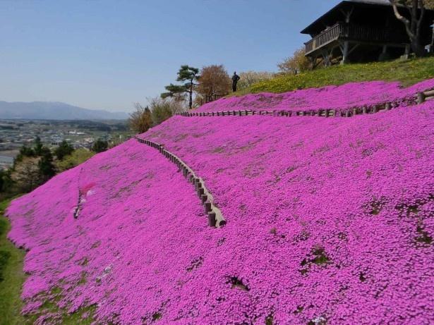 木古内/薬師山の芝桜