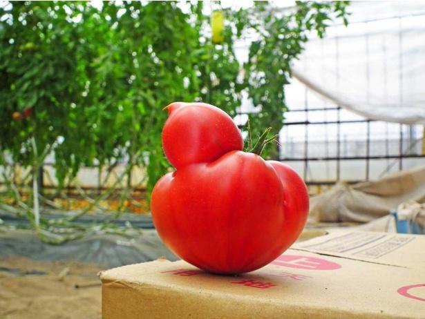 ヒヨコのようにも見える、形の変わったフルーツトマト