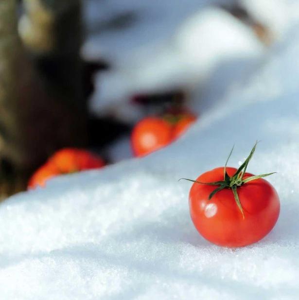 新潟の寒い冬を越え、真っ白な雪に映える甘さを極めた「越冬フルーツトマト」