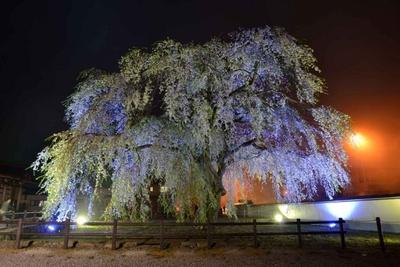 法亀寺/夜桜ライトアップのようす