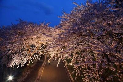 大野川の桜並木のライトアップも土手の遊歩道の夜桜散歩に最適のあでやかさ