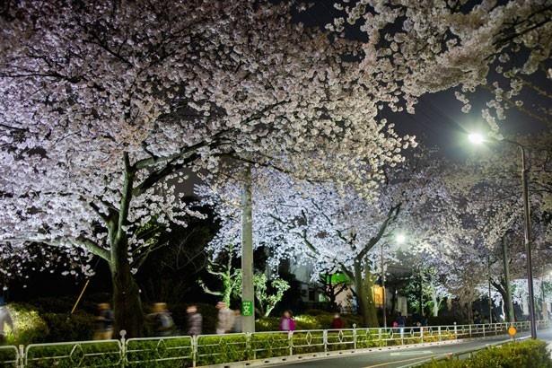 【写真を見る】闇に浮かび上がる幻想的な夜桜は必見!