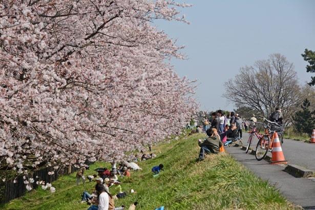 水神前に隣接する西河原公園裏の多摩川の土手まで足を延ばし、お花見散歩を楽しむのもおすすめ