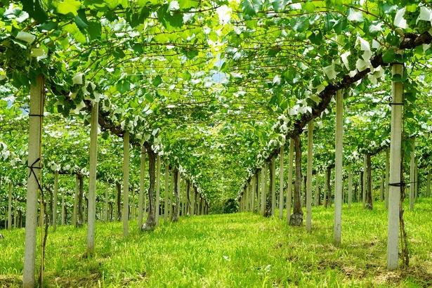 化学肥料を使わないオーガニックな栽培を行っている笹一酒造のワイン醸造用自社畑
