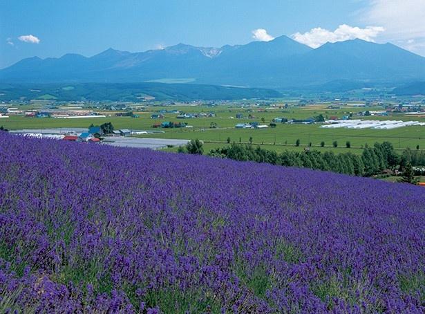 ファーム富田の魅力は雄大な景観! 他にもさまざまな花畑が…