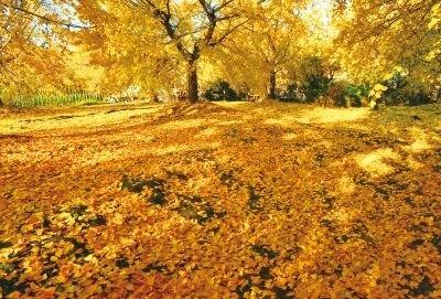 黄金色のイチョウ並木とゴールデンカーペット