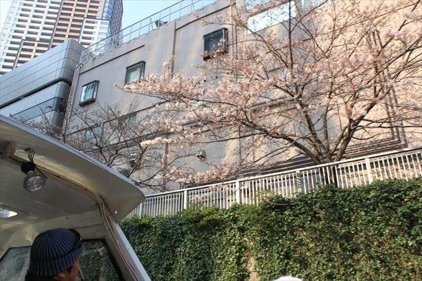 桜のすぐ傍まで寄ってくれるので、ゆっくりしっかりと桜を楽しめる