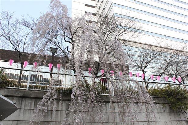 いつもとは違った視点から桜を楽しめる