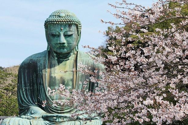 与謝野晶子が「美男」と歌に詠んだ鎌倉大仏を桜が鮮やかに彩る(鎌倉大仏殿高徳院)