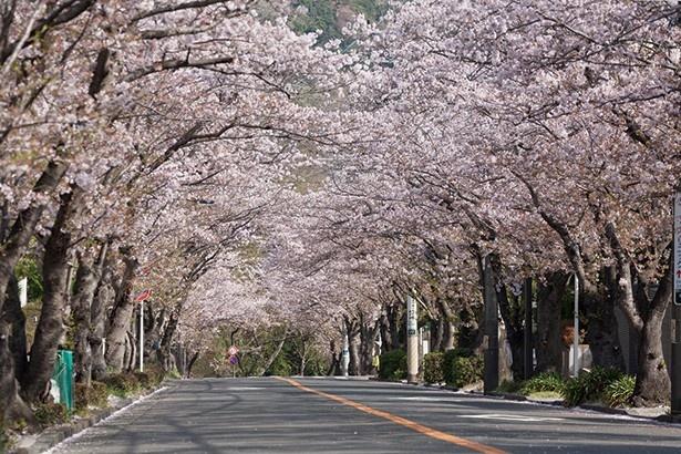 比較的人が少なく、ゆったりと桜のトンネル下の散策が楽しめる(ハイランド)