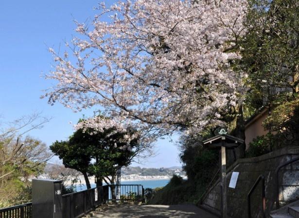 山門前の桜のピンク、海と空の青のコントラストが美しい(成就院)