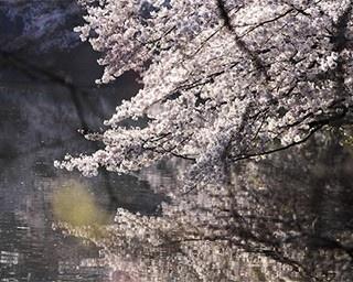 参道の「段葛(だんかづら)」から三ノ鳥居をくぐると、右手に源氏池(写真)、左手に平家池があり、ソメイヨシノが水面を彩る(鶴岡八幡宮)